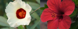 Difference Between Hibiscus and Roselle