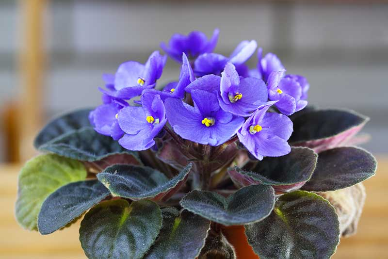 African violets are safe for dogs, and they are easy to care for, which makes them an excellent choice for this list. These flowers have very colorful ...
