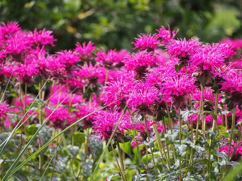 This is a plant that will smell great in your garden, but it is also a safe option for your dog to sniff and enjoy as well. The flowers can range from ...