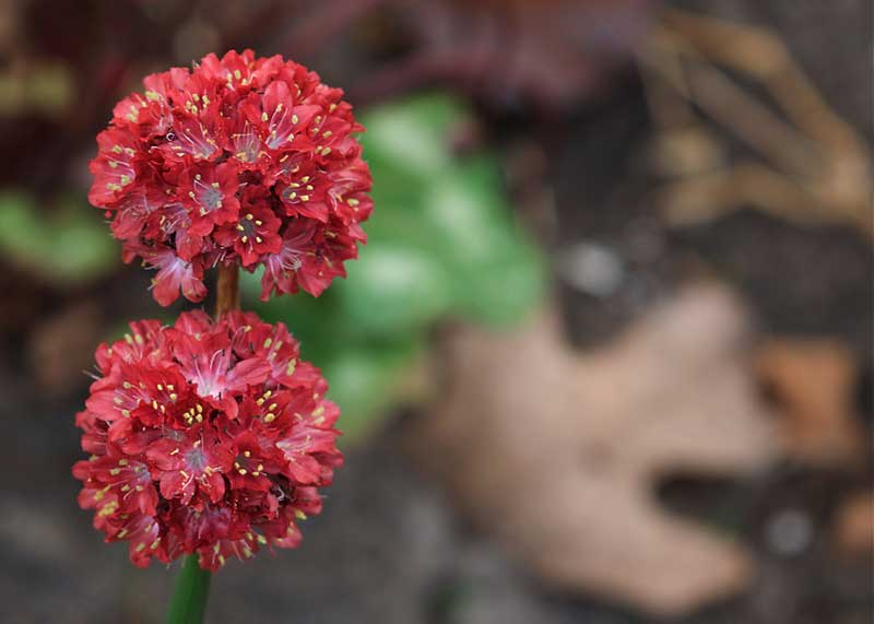 Red Armeria