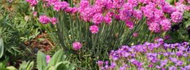 Growing Guide: Tips for Growing Sea Thrift