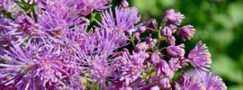 Tips for Growing Thalictrum Meadow Rue