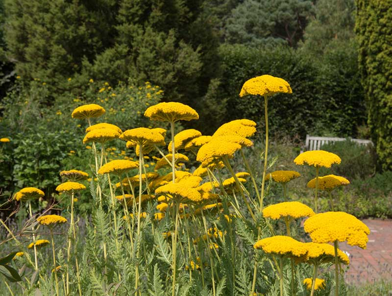 yellow Yarrow Perennial