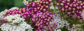 Growing Guide: How to Grow and Care for Yarrow