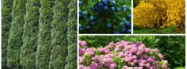 15 Fast Growing Privacy Shrubs & Bushes