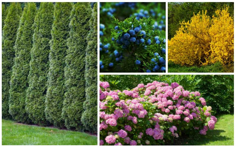 15 Fast Growing Privacy Shrubs Bushes Garden Lovers Club