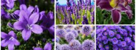 20 Gorgeous Purple Perennials (Photos)