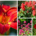 different types red perennials