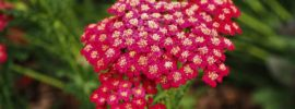 8 Different Types of Yarrow (Photos)