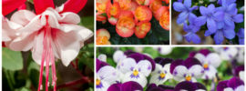 15 Different Annuals for Shade (Photos)