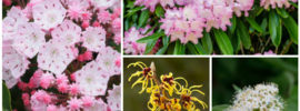10 Shade-Tolerant Flowering Shrubs