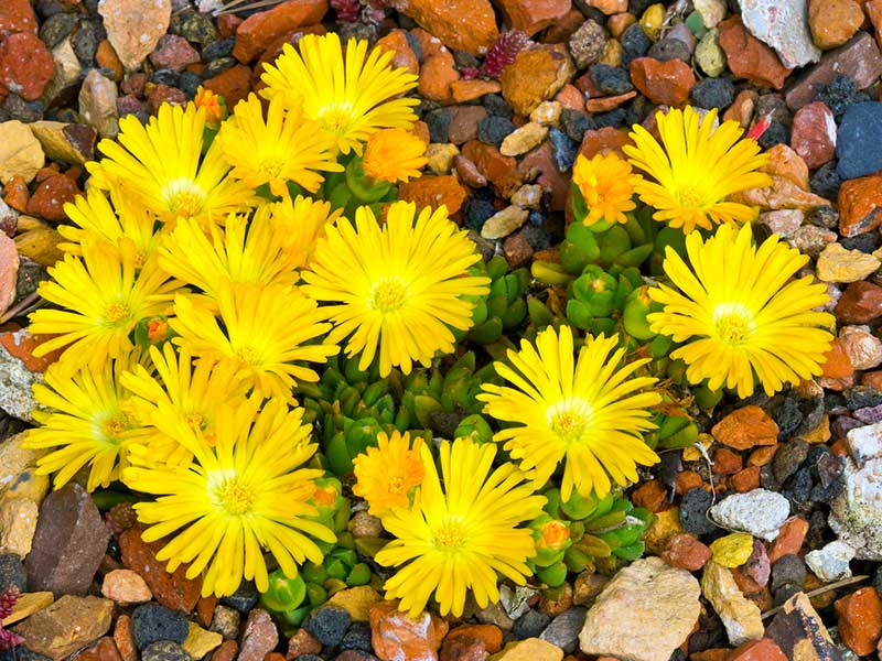yellow Ice-Plant