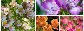 Growing Alstroemeria (Peruvian Lily): How to Grow and Care