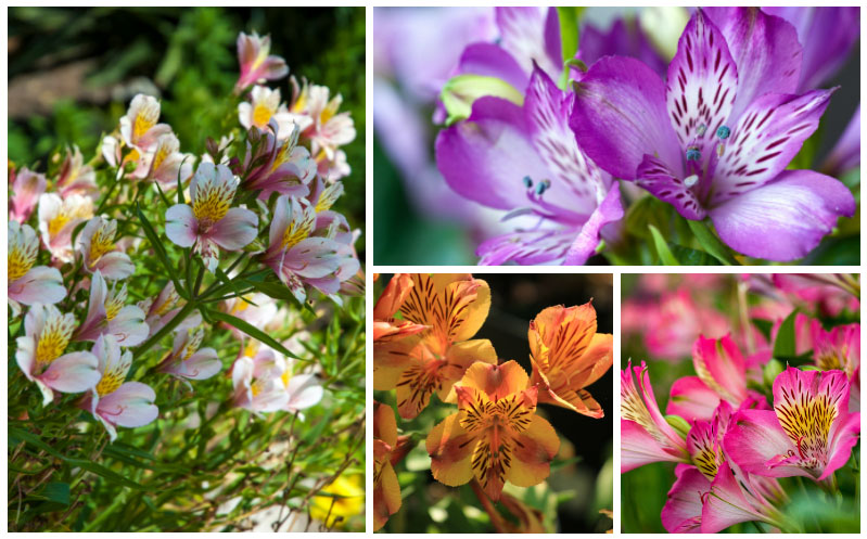 Growing Alstroemeria Peruvian Lily How To Grow And Care Garden Lovers Club