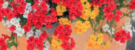 Nemesia Flower: How to Grow and Care for Nemesia