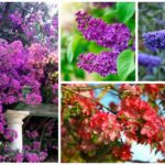drought tolerant shrubs