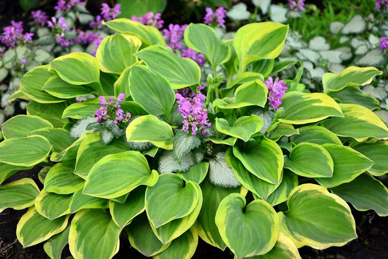 Growing Hostas How To Grow And Care Guide Garden Lovers Club