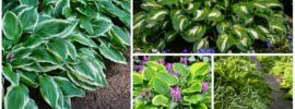 Growing Hostas: How to Grow and Care Guide