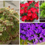 perennials for containers