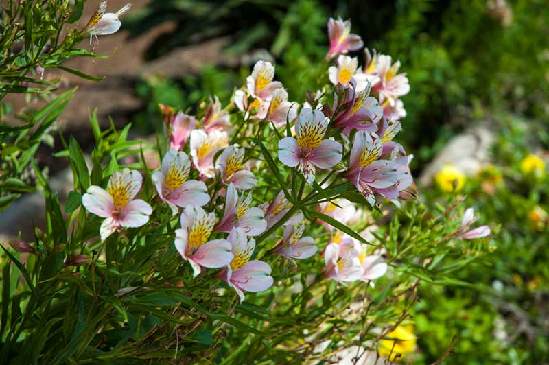 Peruvian lily in pink