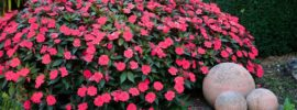 Impatiens: Tips to Grow These Cheerful Garden Staple