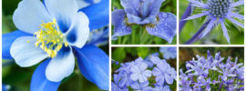 17 Blue Perennials for your Garden