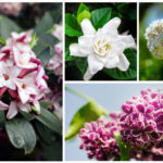 fragrant shrubs