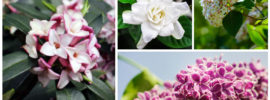 10 Gorgeous Fragrant Shrubs