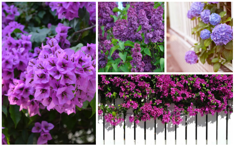 8 Beautiful Purple Flowering Shrubs Garden Lovers Club