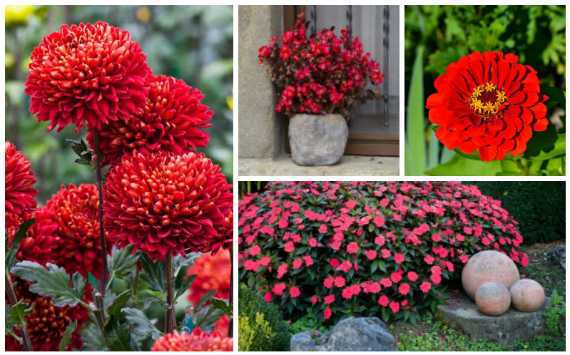 10 Beautiful Bold Red Annuals For Your Garden Garden Lovers Club