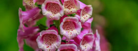 Tips on How To Deadhead Foxglove Plants