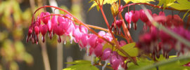 15 Different Types of Bleeding Heart Flowers