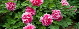 Tips on Growing Gorgeous Peonies