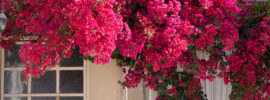 The Different Varieties of Bougainvillea (Plus Care Tips)