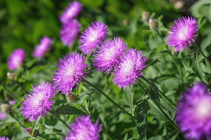 Stokes asters