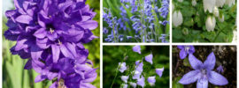 10 Different Types of Bellflower Varieties