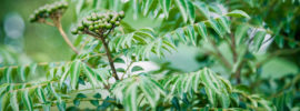Curry Leaf Plant Care: Tips on Growing Curry Trees