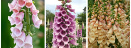 The Different Types of Foxglove