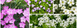 15 Best Ground Cover Perennials