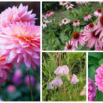pink flowering annuals