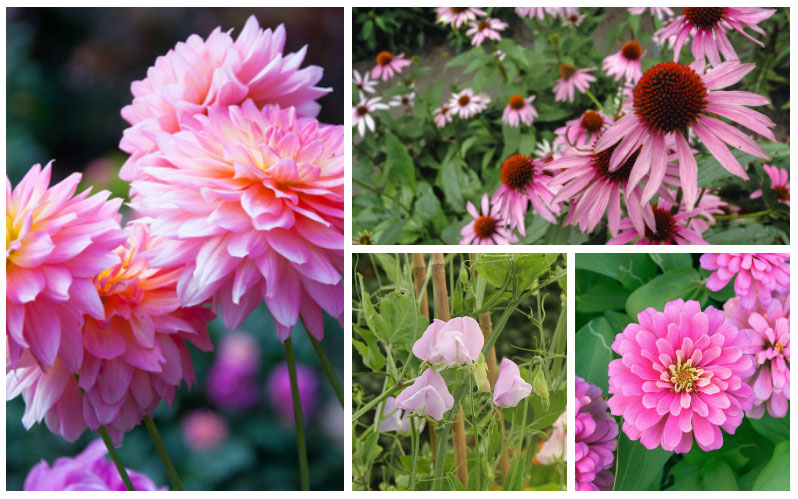 10 Stunning Pink Annual Flowers For Your Garden Garden Lovers Club