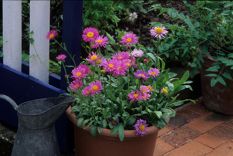 Aster In Container