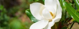 Growing Guide: How to Grow Magnolia Trees