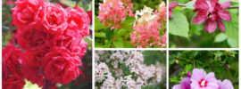 15 Stunning Flowering Summer Shrubs