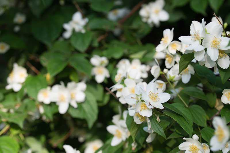 Sweet-Mock Orange
