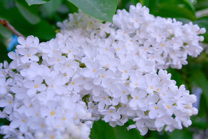 white lilac shrub
