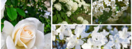 10 Beautiful White Flowering Shrubs
