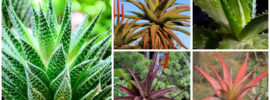 20 Different Types of Aloe Plants