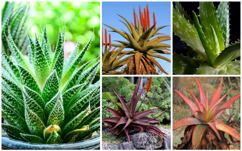 20 Diffe Types Of Aloe Plants