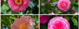 20 Different Types of Camellia Plants